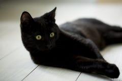 Pet animal; cute cat. Black cat indoor stock photo