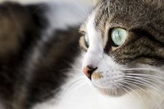 Pet animal; cute cat. Tabby cat indoor royalty free stock images