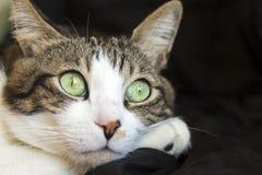 Pet animal; cute cat. Tabby cat indoor stock image