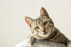 Pet animal; cute cat. Tabby cat indoor stock photos