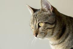 Pet animal; cute cat. Tabby cat indoor royalty free stock photos