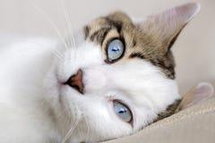 Pet animal; cute cat. Blue eyed cat stock photos