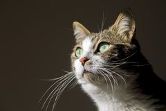 Pet animal; cute cat. Tabby cat indoor royalty free stock photography