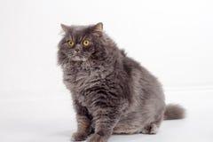 Pet animal; cute cat. Persian grey cat stock image