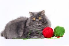 Pet animal; cute cat. Persian grey cat in the studio royalty free stock photos