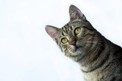 Pet animal; cute cat. Tabby cat indoor royalty free stock image