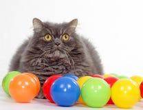 Pet animal; cute cat. Persian cat in studio royalty free stock image