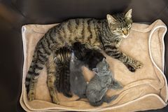 Pet animal; cute cat indoor. House cat. Pet animal; cute cat indoor. Baby cats and mother cat royalty free stock images