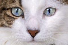 Pet animal; cute cat indoor. Blue eyed cat.  stock images