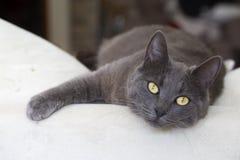 Pet animal; cute cat indoor. House cat. Pet animal; cute cat indoor. Grey cat stock photos