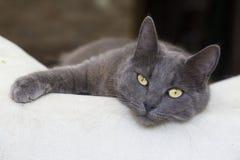 Pet animal; cute cat indoor. House cat. Pet animal; cute cat indoor. Grey cat stock photography