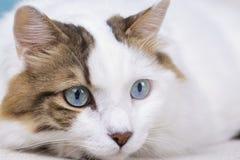 Pet animal; cute cat indoor. House cat. Pet animal; cute cat indoor. Blue eyed cat royalty free stock images