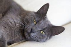 Pet animal; cute cat indoor. House cat.  royalty free stock image