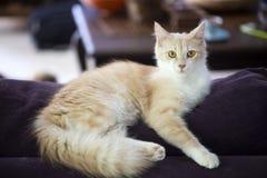 Pet animal; cute cat indoor. House cat.  stock image