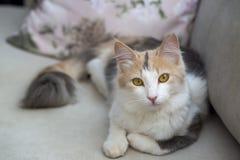 Pet animal; cute cat indoor. House cat.  stock photos