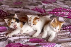 Pet animal; cute cat indoor. House cat. Pet animal; cute cat indoor. Kitten, baby cats stock photography