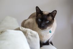 Pet animal; cute cat indoor. House cat.  stock photography