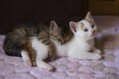 Pet animal; cute cat indoor. House cat. Pet animal; cute cat indoor. Kitten, baby cats royalty free stock photo
