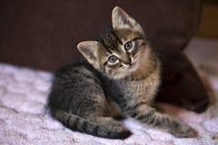 Pet animal; cute cat indoor. House cat. Pet animal; cute cat indoor. Kitten baby cat royalty free stock photo