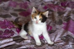 Pet animal; cute cat indoor. House cat. Pet animal; cute cat indoor. Kitten baby cat stock image