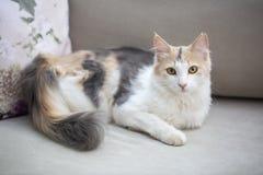 Pet animal; cute cat indoor. House cat.  stock photo
