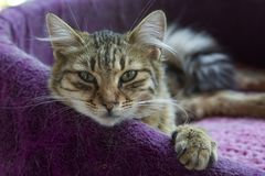 Pet animal; cute cat indoor. House cat.  royalty free stock photos