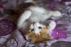 Pet animal; cute cat indoor. House cat. Pet animal; cute cat indoor. Kitten baby cat stock photo