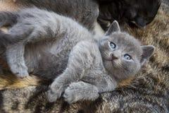 Pet animal; cute cat indoor. House cat. Pet animal; cute cat indoor. Grey baby cat stock photography