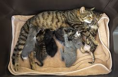 Pet animal; cute cat indoor. House cat. Pet animal; cute cat indoor. Baby cats and mother cat stock photos