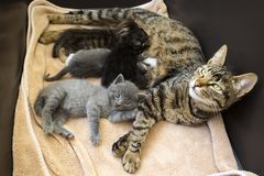 Pet animal; cute cat indoor. House cat. Pet animal; cute cat indoor. Baby cats and mother cat royalty free stock photos