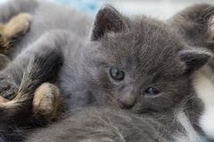 Pet animal; cute cat indoor. House cat. Pet animal; cute cat indoor. Kitten, baby cat stock photo
