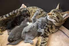 Pet animal; cute cat indoor. House cat. Pet animal; cute cat indoor. Baby cats and mother cat royalty free stock image