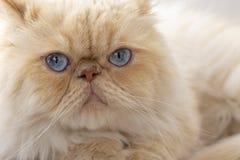 Pet animal; cute cat indoor. House cat.  stock images