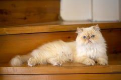 Pet animal; cute cat indoor. House cat.  royalty free stock photo