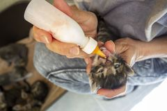Pet animal; cute cat indoor. House cat. Pet animal; cute cat indoor. Bottle-fed baby cat stock photography