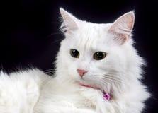 Pet animal; cute cat indoor. House cat. Pet animal; cute cat indoor. White cat stock photos