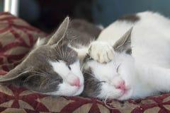 Pet animal; cute cat. Two buddy sleeping cat indoor royalty free stock image