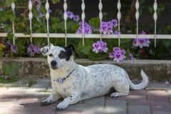 Pet animal; cute dog. The house dog.  stock photo