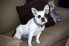 Pet animal; cute dog. The house dog.  royalty free stock image
