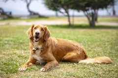 Pet animal; cute dog indoor. House dog royalty free stock image
