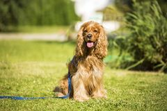 Cute dog, pet animal. Pet animal; the cute, enjoyable, happy dog in the garden royalty free stock image
