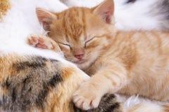 Pet animal; cute kitten baby cat indoor.  royalty free stock photos