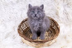 Pet animal; cute kitten baby cat indoor.  stock image