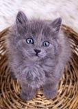 Pet animal; cute kitten baby cat indoor.  royalty free stock image