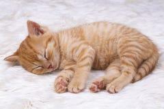 Pet animal; cute kitten baby cat indoor.  royalty free stock photo