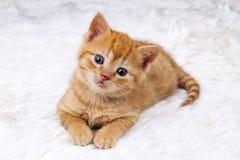 Pet animal; cute kitten baby cat indoor.  royalty free stock images
