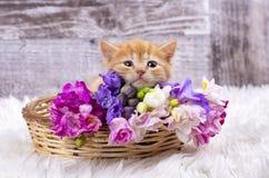 Pet animal; cute kitten baby cat indoor.  royalty free stock photography