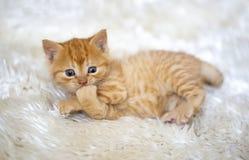 Pet animal; cute kitten baby cat indoor.  stock photography