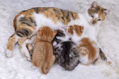 Pet animal; cute kitten baby cat and mother cat royalty free stock photography