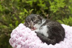 Pet animal; cute kitten cat. Newborn baby cat. House cat.  royalty free stock photo